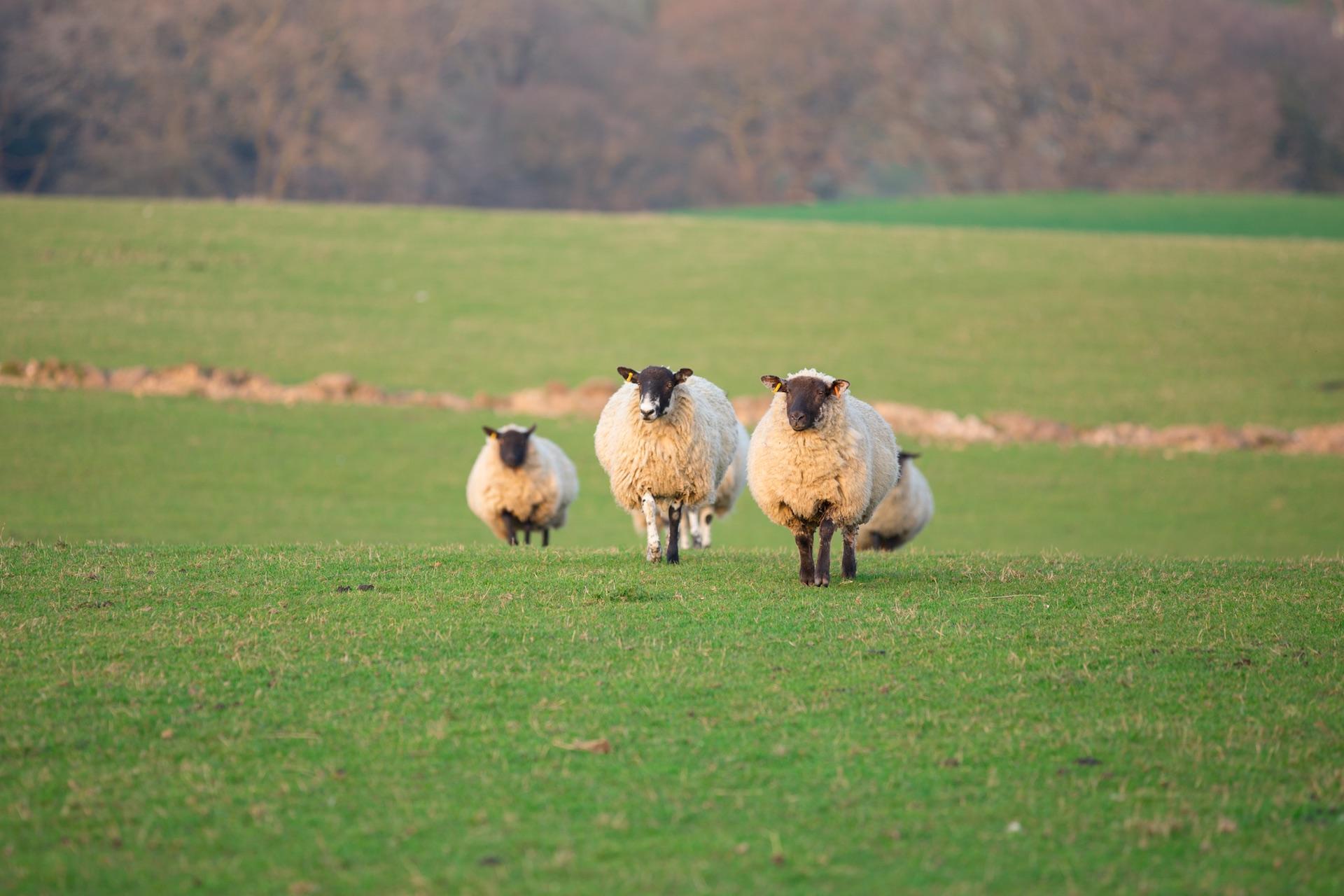 走在獅群前頭的綿羊 – 內向者的獨特領導個性